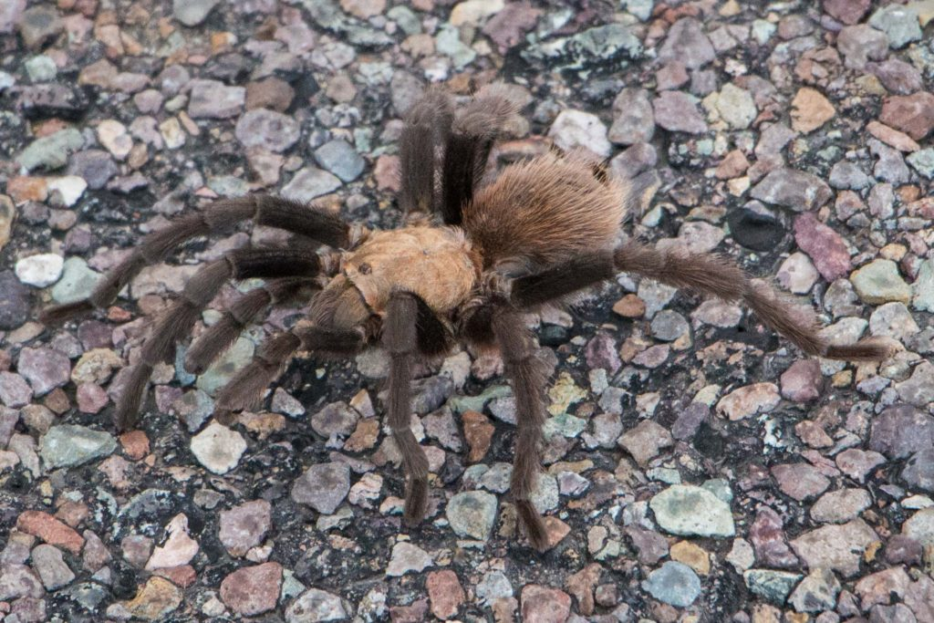 tarantula warming up on pavement in big bend national park